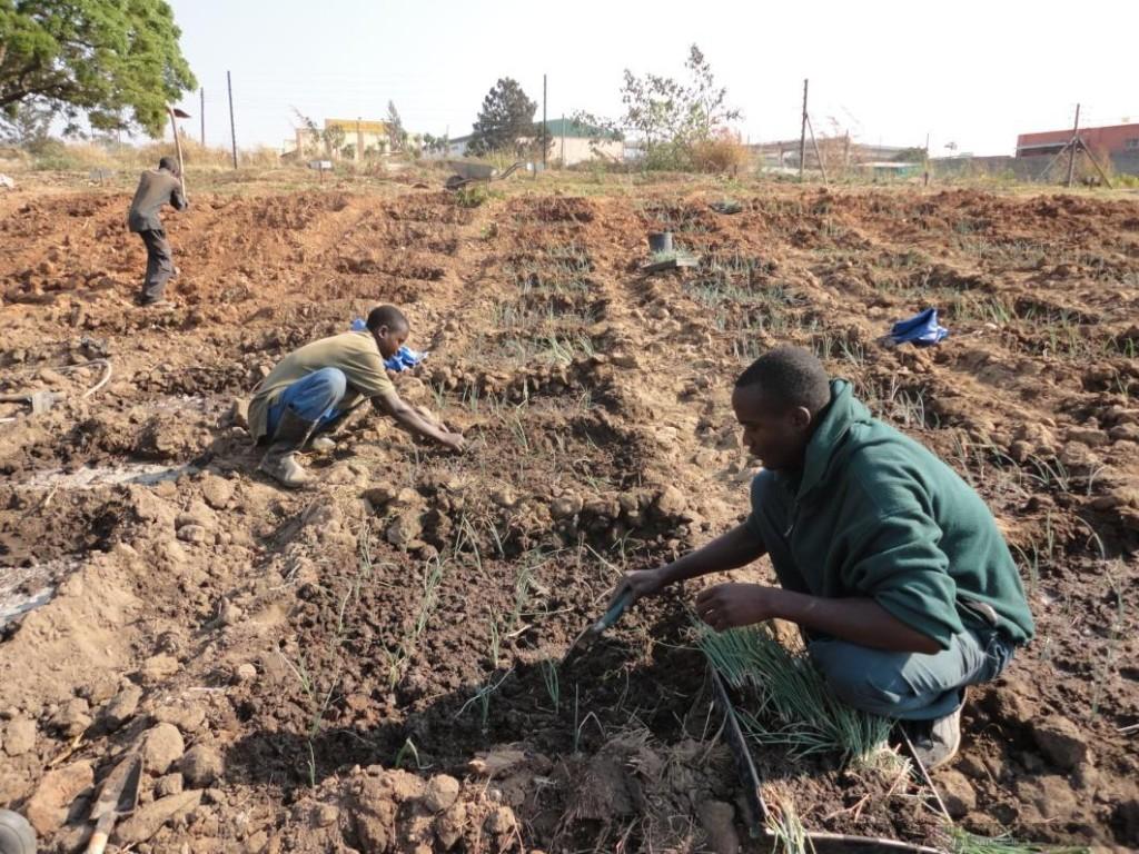 AG_transplanting onions