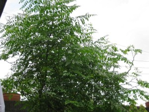 Moringa-mature-tree